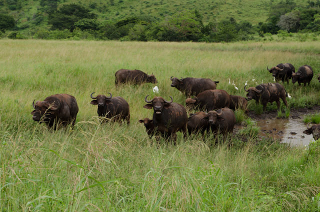 When we found them, the water buffalo got tired of their current location... Photo © 2013 Aaron Saunders
