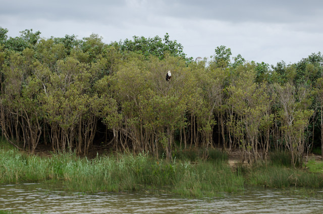 Another Eagle, perched atop the trees. Watching. Waiting. Boating, again Photo © 2013 Aaron Saunders