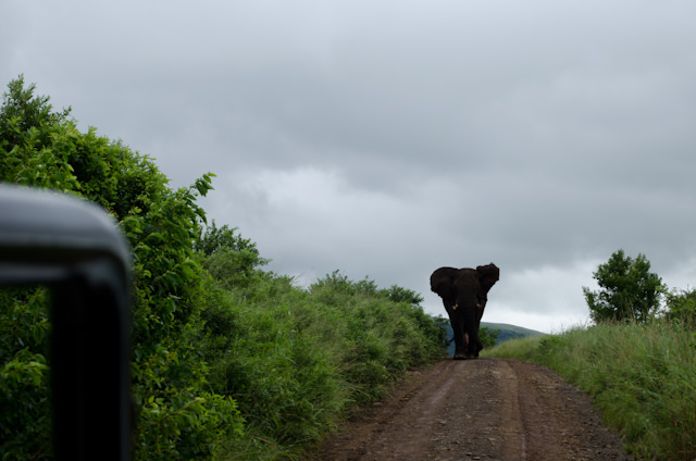 "Whoa there. A large male elephant ""in full mast"" isn't terribly happy to see us. Photo © 2013 Aaron Saunders"