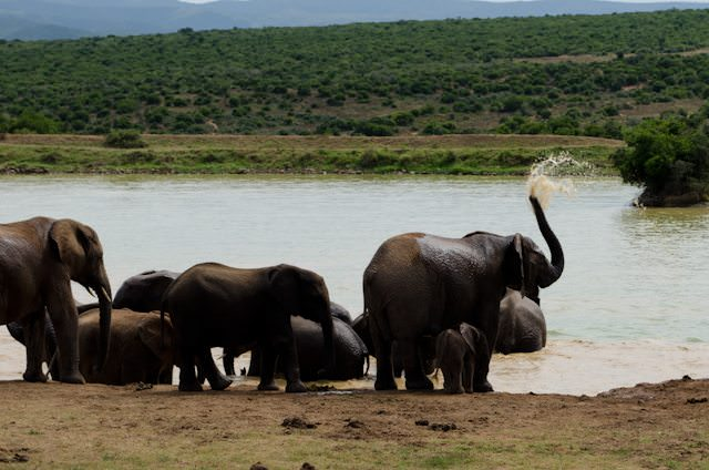 A family of elephants cools off at a local watering hole. Photo © 2013 Aaron Saunders