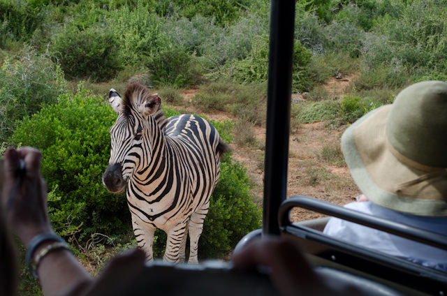This Zebra came right up to the side of the 4x4. Photo © 2013 Aaron Saunders