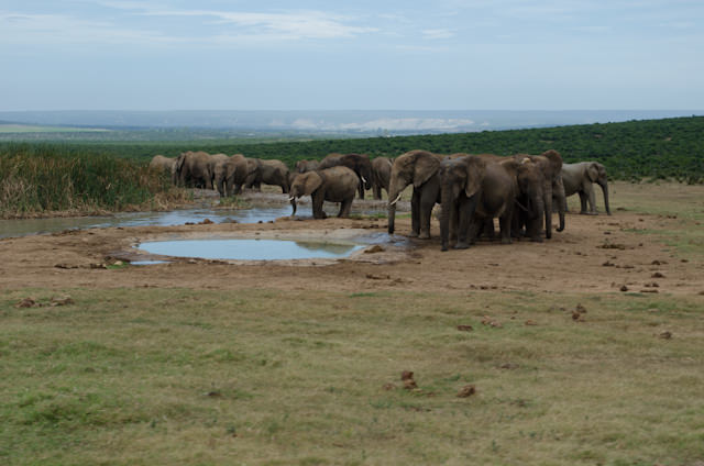 More elephants cool off at another watering hole at the Addo Elephant National Park in South Africa. Photo © 2013 Aaron Saunders