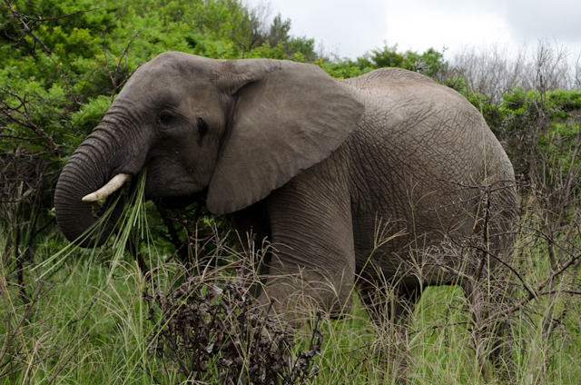 The first up-close elephant sighting I've seen since visiting Addo Elephant Park one week ago. Photo © 2013 Aaron Saunders
