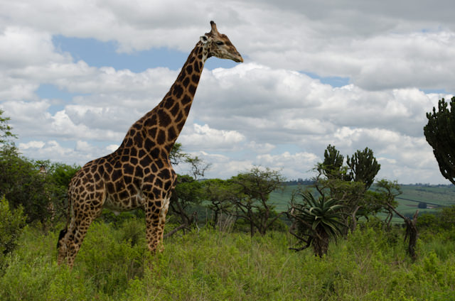 Giraffe's at the Tala Private Game Reserve. Photo © 2013 Aaron Saunders