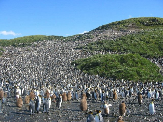 Colony of King Penguins in South Georgia. Photo Courtesy of Pismire at the German language Wikipedia