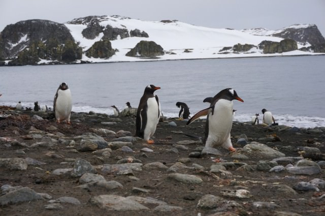 Gentoo penguins on Barrientos Island. © 2013 Ralph Grizzle