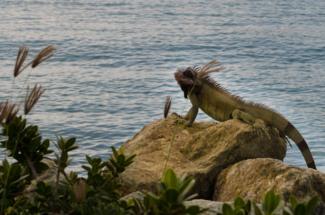 It was so warm in St. Thomas today that even the lizards were out in full-force. Photo © 2014 Aaron Saunders