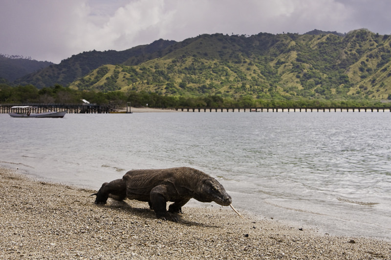 In Indonesia, we'll have the chance to explore the island of Komodo - and maybe get a glimpse of the famous Komodo Dragon. Photo courtesy of Wikipedia / Creative Commons