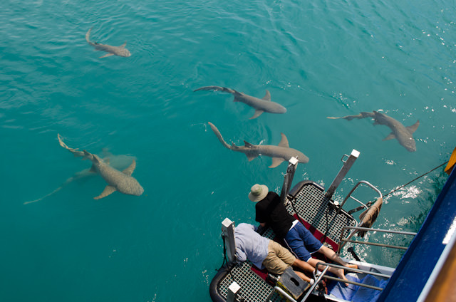Silver Discoverer had some company today in the form of eight sharks that spent the day circling our stern. Photo © 2014 Aaron Saunders