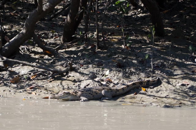 The deadly Saltwater Crocodile is abundant in the murky waters of the Hunter River. Photo © 2014 Aaron Saunders