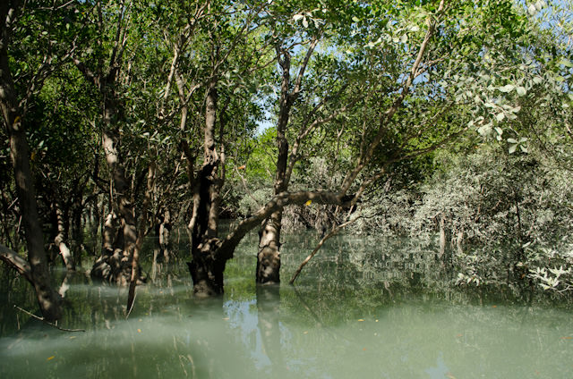 Dense mangroves emerge from the water, their bases hidden by the high tidal conditions. Photo © 2014 Aaron Saunders