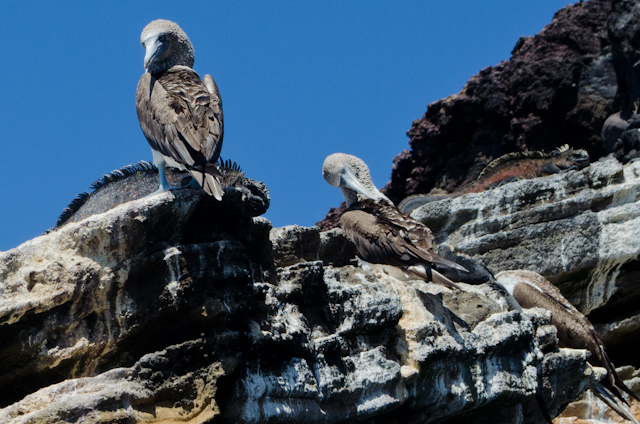 More Blue-Footed Boobies. Photo © 2014 Aaron Saunders