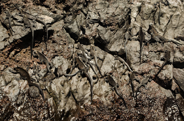 Iguanas cling to the rock face near the sea. Photo © 2014 Aaron Saunders