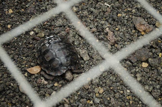 This tortoise is just months old. Photo © 2014 Aaron Saunders