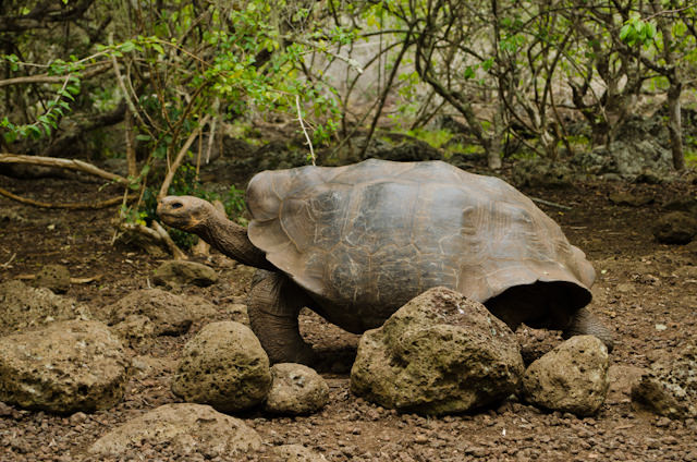 This tortoise is decades old. Photo © 2014 Aaron Saunders