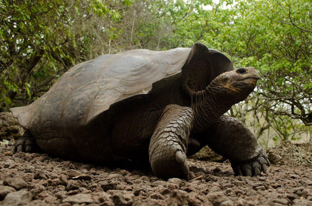 As you might expect, La Galapaguera has no shortage of giant tortoises. Photo © 2014 Aaron Saunders