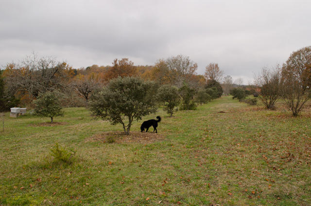 Hunting for Pernod's famous Black Truffles on our full-day tour from Libourne, France with Viking River Cruises. Photo © 2014 Aaron Saunders