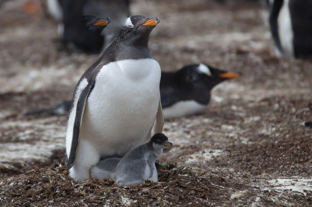 Protecting the new-born penguin. © 2014 Yuriy Rzhemovskiy for Avid Travel Media Inc.
