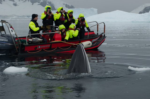 If the whales were happy, FRAM's guests were even happier. The Expedition Team even remarked how unusual this was. Photo © 2015 Aaron Saunders