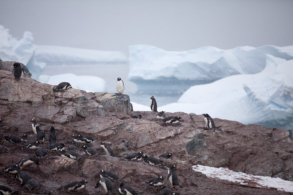 Gentoo Penguin Nests