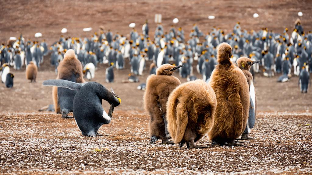 "Early explorers thought the downy, brown penguins were a new species. The explorers described the odd looking creatures as ""woolly"" penguins. They are, in fact, King Penguin chicks. © 2014 Avid Travel Media Inc."