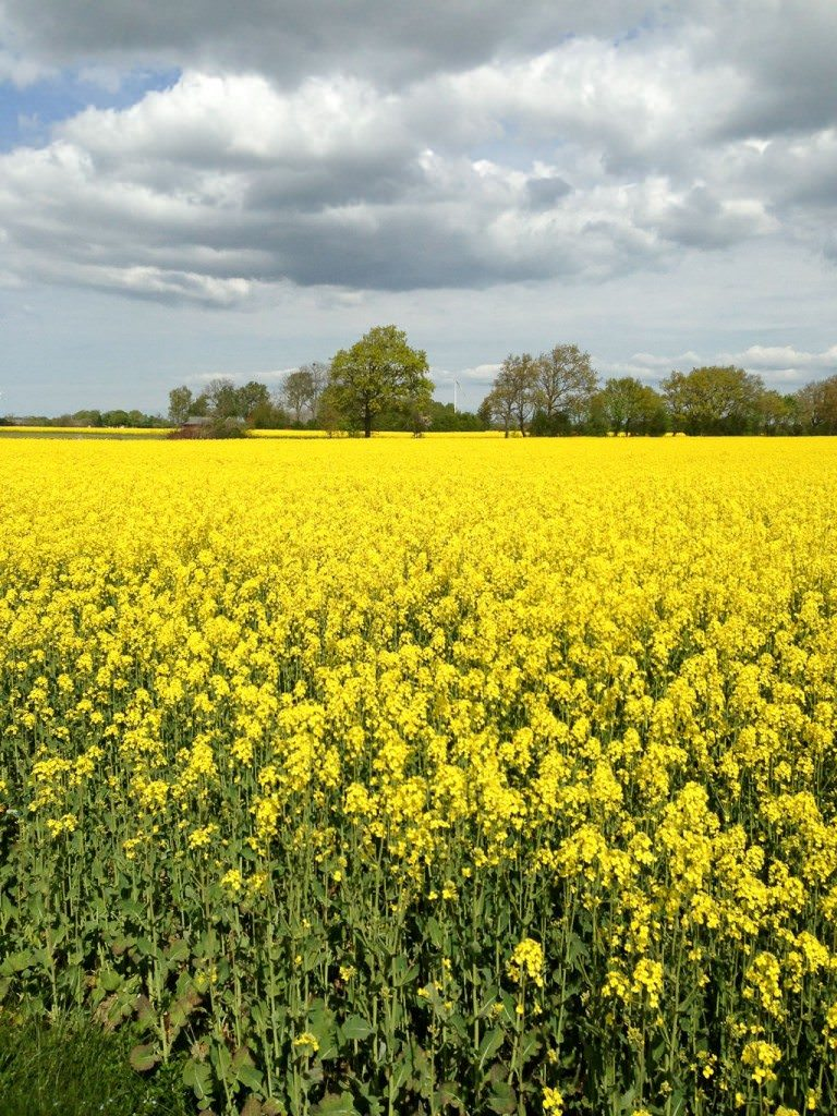 Beautiful canola fields in the countryside. ©Ralph Grizzle