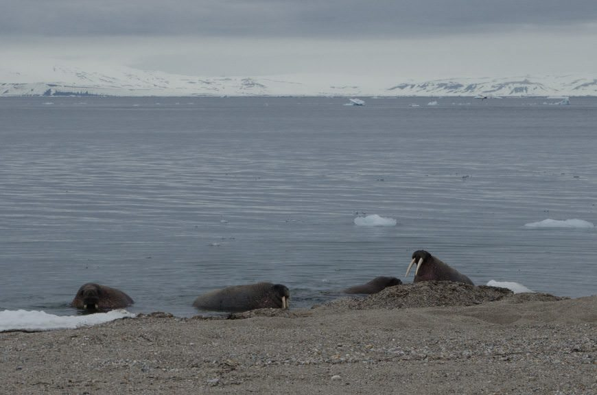 We were treated to a real sight: walruses, and lots of them. Photo © 2015 Aaron Saunders