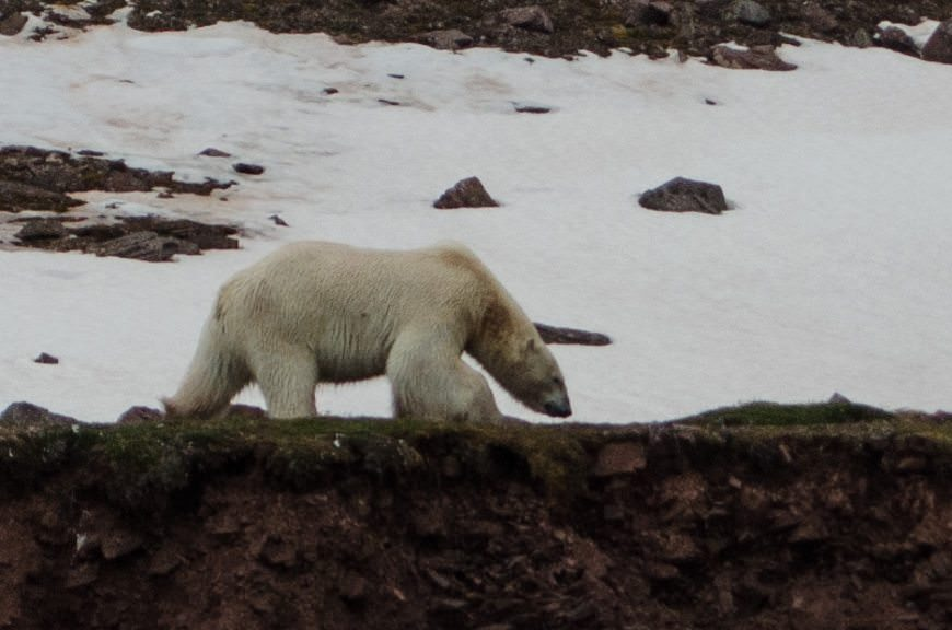 At last: our first Polar Bear in the Arctic! Photo © 2015 Aaron Saunders