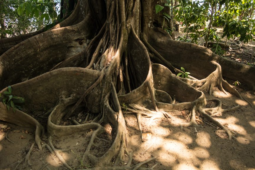 The roots of this tree twist and turn into the earth like snakes. Photo © 2016 Aaron Saunders