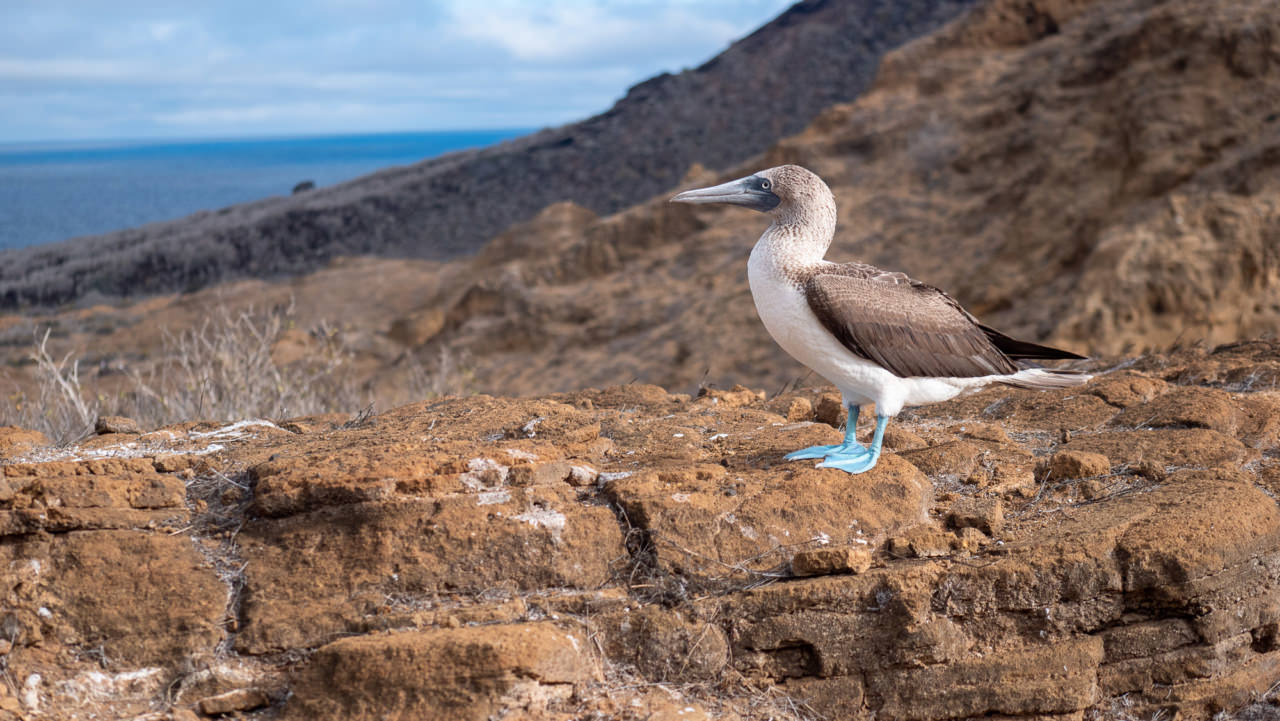 Blue-Footed Booby Galapagos. © 2019 Ralph Grizzle