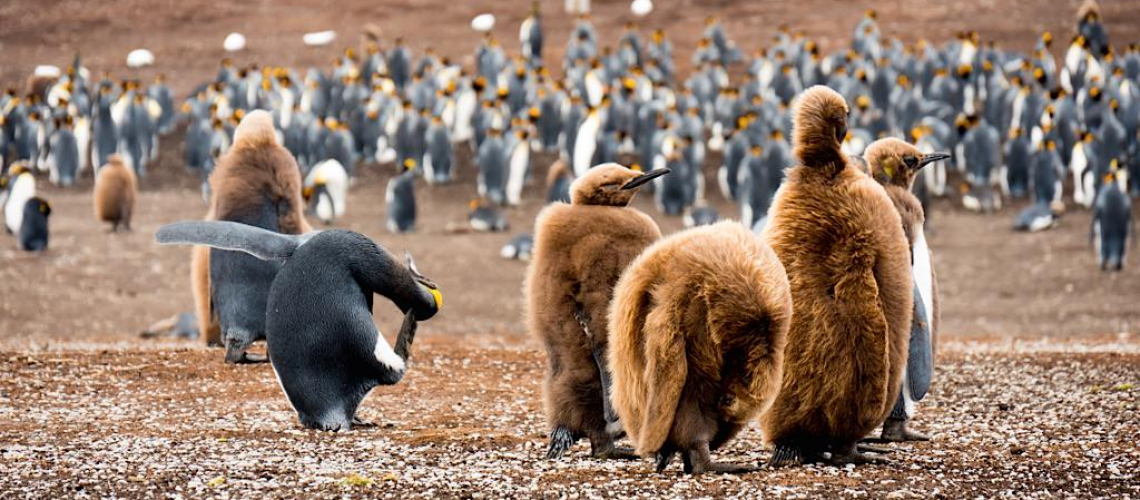 Early explorers thought the downy, brown penguins were a new species. The explorers described the odd looking creatures as